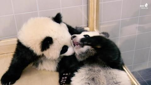 Pandas im Zoo Berlin: Pit und Paule wollen sich zeigen