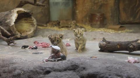 Löwen-Fünflinge im Leipziger Zoo erstmals präsentiert