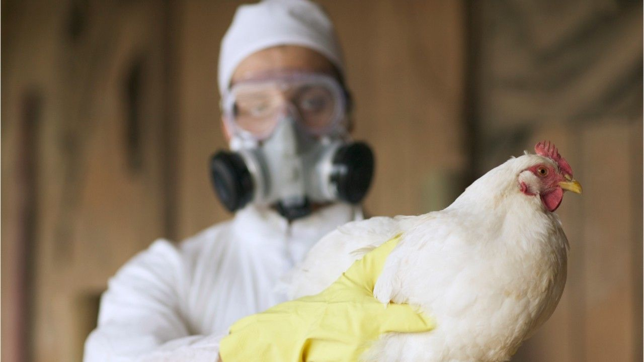 Vogelgrippe bei Menschen nachgewiesen: So gefährlich ist H5N8